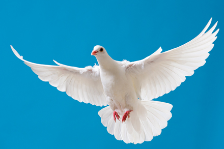 A Pigeon Is The Same Thing As A Dove The Symbol Of Peace