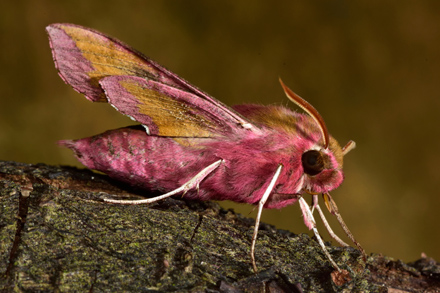 Elephant Hawk Moth Snake