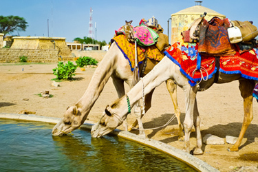 camels-drinking-20-12-16-main