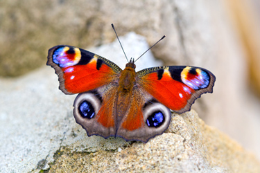 peacock-butterfly-4-12-16-main