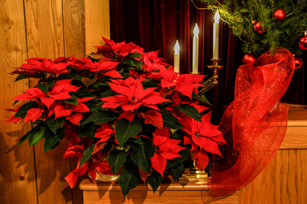 poinsettia-15-12-16-blog