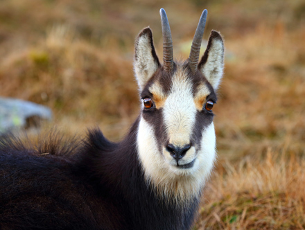The Chamois Is A Wild Species Of Antelope Which Lives In