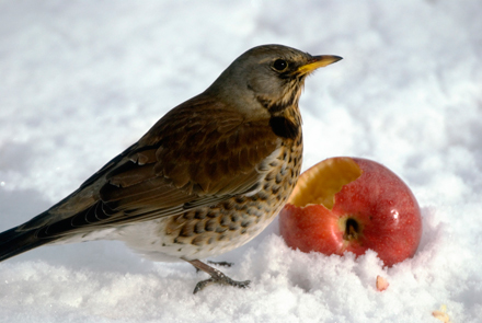 fieldfare-in-snow-9-1-17-blog
