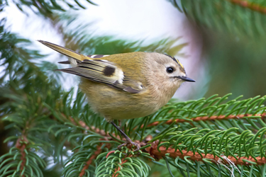 Goldcrest-15.1.17-Main
