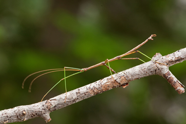 Stick-Insect-27.1.17-Main