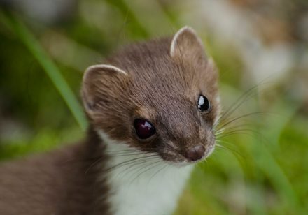 stoat-11-1-17-blog