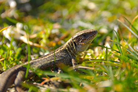Common-Lizard-10.2.17-Blog
