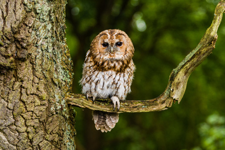 Tawny-Owl-Perched-16.2.17-Blog