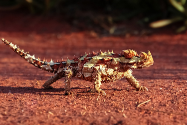 Thorny-Devil-23.2.17-Main