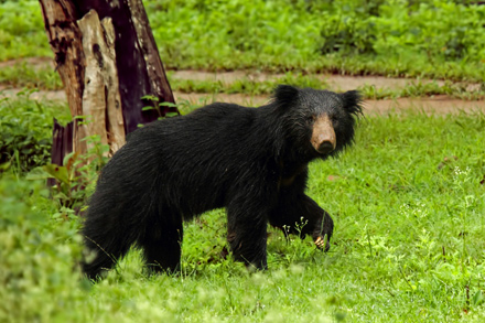 The sloth bear is endangered due to habitat loss and poaching