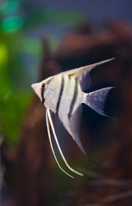 Freshwater angelfish are carnivorous and prey upon ...