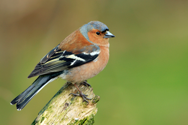 Chaffinch-Perched-7.4.17-Main