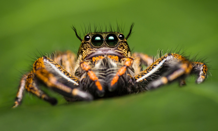 Jumping-Spider-13.4.17Blog