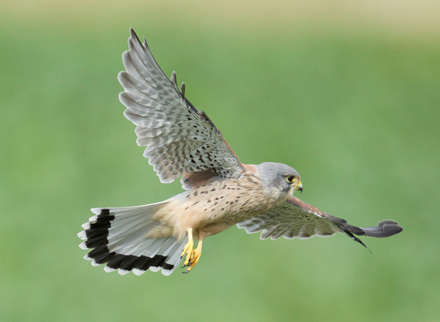 Kestrel-Flight-18.4.17-Blog