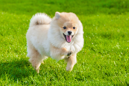 pomeranian running our family dog was a pomeranian which looked like a lion 3145