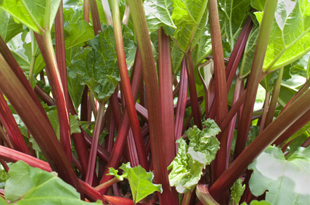 Rhubarb-Growing-21.4.17-Blog