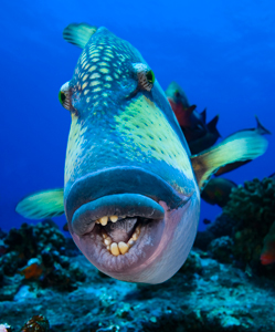 There are 40 species of triggerfish in all