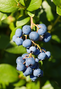 Blueberries-May-17