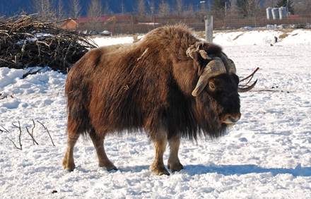 Musk-Ox-May-17-Blog