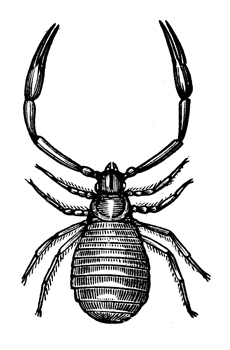 Pseudoscorpion-Illustration-June-17