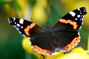 Red-Admiral-June-17-Main
