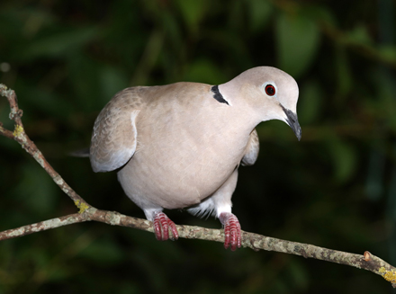 Collared-Dove-July-17-Blog