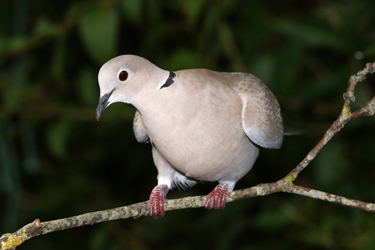 Collared-Dove-July-17-Main