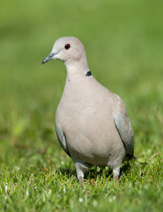 Collared-dove-on-Grass-July-17