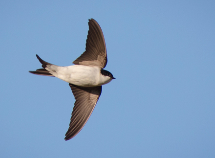 House-Martin-July-17-Blog