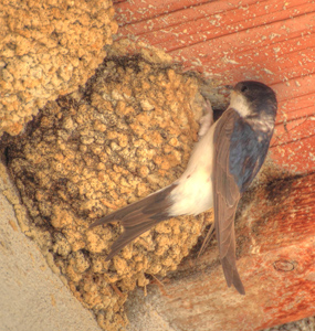House-Martin-Nest-July-17