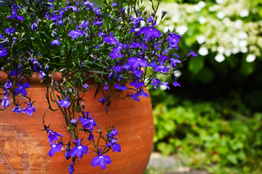 Lobelia-Purple-July-17-Main