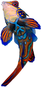 Mandarin-Fish-July-17