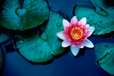 Water-Lily-July-17-Main