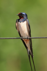 Swallow-Perched-Aug-17