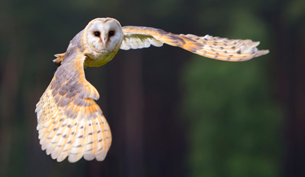 Barn-Owl-Flying-Sep-17-Blog