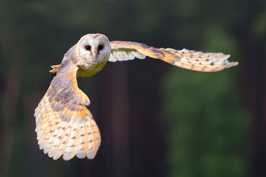 Barn-Owl-Flying-Sep-17-Main