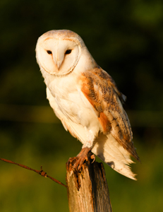 Barn-Owl-Perched-Sep-17