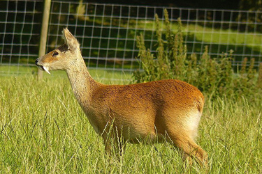 Chinese-Water-Deer-Sep-17-Main