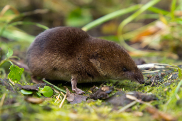 Common-Shrew-Sep-17-Main