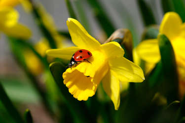 Daffodil-with-Ladybird-Sep-17-Main