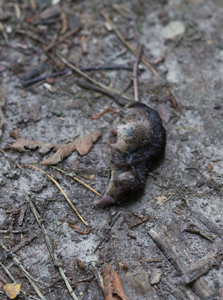 Dead-Shrew-Sep-17