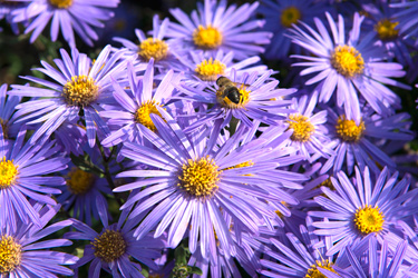 Purple-Aster-Sep-17-Main