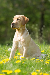 Labrador retrievers make great pets.