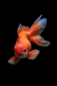 Goldfish can be beutiful.