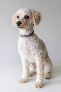 Poodles are usually hypoallergenic