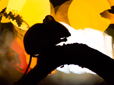Mouse in silhouette sitting on a branch