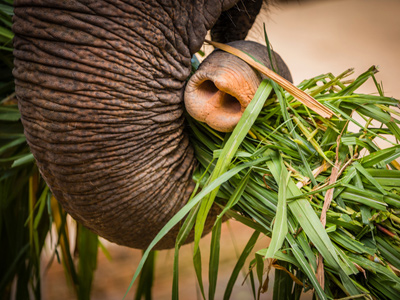 Close-up of elephant's trunk carrying grass
