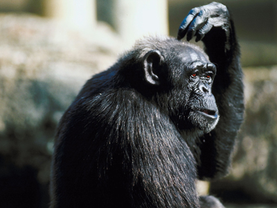chimp wondering what to do