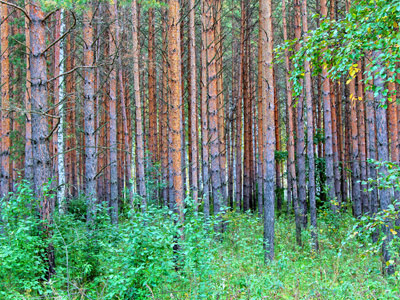 Management and Use of Coniferous Forests