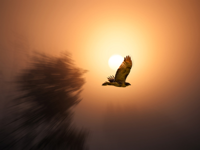 hawk roosting Hawk is a very aggressive and fierce creature it has powerful grip of claws and round shaped beak hawk looks down in search of his new prey from the parch of a tree and distributes its bones on the path he thinks that sun is also in his control.